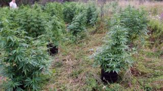 Иззеха 501 кг марихуана от земеделски имоти в Петрич