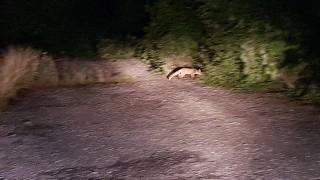 Лисици нападат Силистренски села