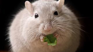 Каква е връзката между хамстерите и затлъстяването