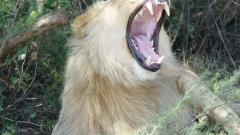 Лъв уби американска туристка в парк в Южна Африка