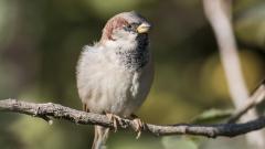 Конфискуваха незаконно уловени диви пойни птици в Бургас