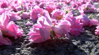 Розопроизводител в Карлово унищожи над 25 дка с маслодайна роза