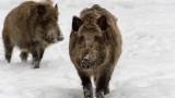 2 нови случая на чума по свинете в Благоевградско