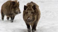 139 случая на трихинелоза от диви свине през 2018-та до сега