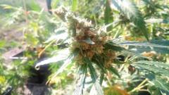 Откриха наркооранжерия на рецидивист в Нови пазар