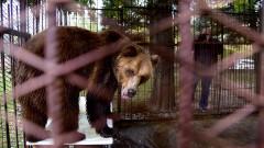 Мечето Теди вече се адаптира към условията в Парка за танцуващи мечки край Белица