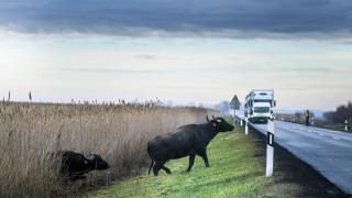 Властите в Германия 9 ч. гонят биволи по блокирана магистрала