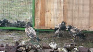 Подсилват популацията на световно застрашения египетски лешояд у нас