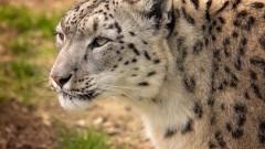 Столичният зоопарк става дом на единствения на Балканите снежен леопард