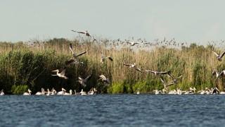 """100 къдроглави пеликана отраснаха в """"Сребърна"""" тази година"""
