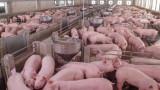 Нов случай на африканска чума в промишлен свинекомплекс
