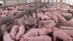 Стотици свине изгоряха във ферма край село Къпиново