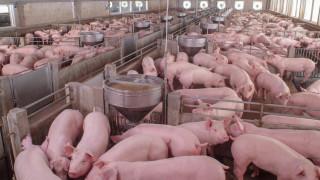 Умъртвиха 80 000 прасета заради чумата в Русенско