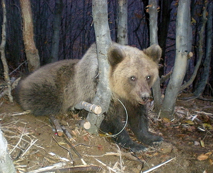 Убиха мечката, нападнала жена в Смолянско