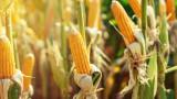 Цената на царевицата удари 8-годишен рекорд