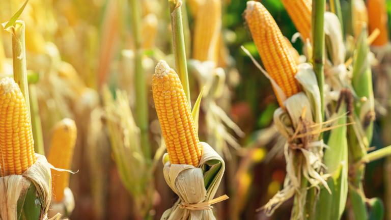 Влошени очаквания за световната реколта от царевица