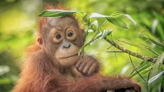 Маймуните са застрашени от изчезване