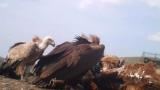 Черен лешояд в Стара планина за първи път от 30 години