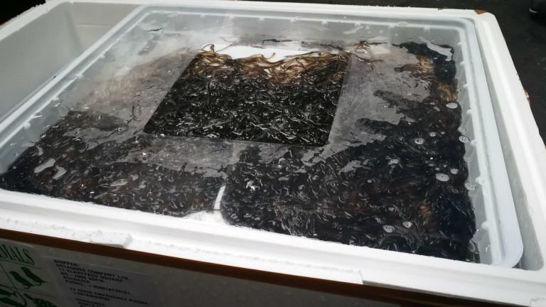 Снимка: Спряха пратка с 200 кг застрашени змиорки на летище София