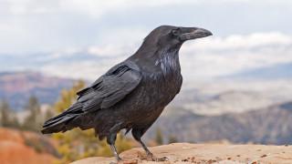 Птиците, които помнят кой ги е измамил