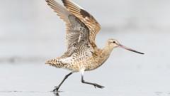 Птица постави нов рекорд - прелетя 12 000 километра без прекъсване