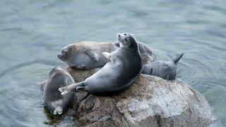 141 мъртви тюлена изплуваха по бреговете на езерото Байкал в Русия
