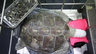 Близо 1000 монети извадиха от стомаха на костенурка в Тайланд