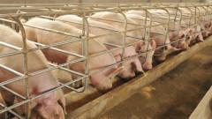 Въвеждат още забрани при отглеждането на прасета заради чумата