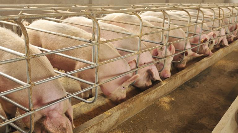 Растат огнищата на африканска чума по свинете в Румъния