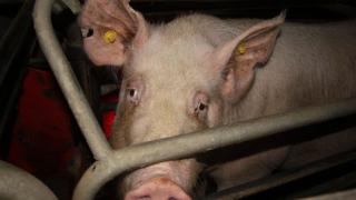 Нелегална търговия с животни в Долни Богров