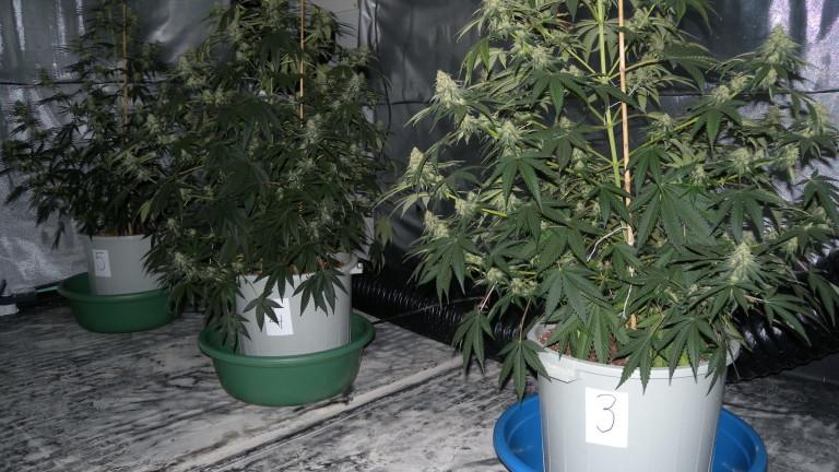 Нова наркооранжерия за отглеждане на конопени растения е неутрализирана полицейските