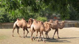 4 двугърби камили от Унгария се настаниха в столичния зоопарк