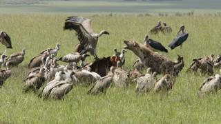 Критично застрашени лешояди масово изтровени в Ботсвана