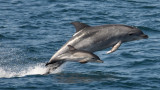 Морбили причинява смъртта на делфини в Черно море