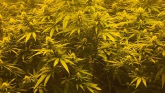 Домашна наркооранжерия откриха край Харманли