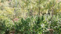 Нива с над 4,5 тона канабис откриха в Сандански
