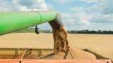 Около 30% по-малко добиви на пшеница очакват зърнопроизводителите