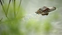 Детенцето, завлечено от алигатор в Орландо, най-вероятно е починало