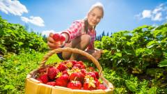 Австралия настръхна от шевни игли в ягоди