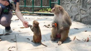 Първи случай на китаец, заразен и загинал от маймунски Б вирус
