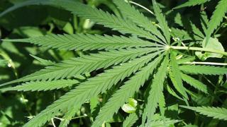 Разнасят чували с марихуана из Ямбол