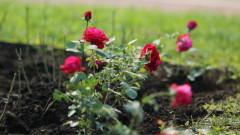 Розовата роза - с благодарност към донорите и лекарите