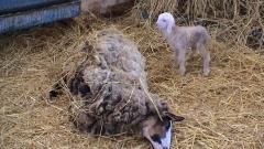 Дават на ЕК разследване за жестокости към селскостопански животни