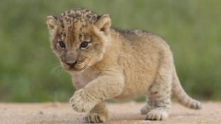 Роди се първото лъвче от изкуствено оплождане