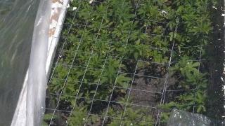 Арестуваха фермер, засадил плантация с 2700 растения марихуана