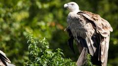 Излюпиха се нови белоглави лешоядчета в Източните Родопи