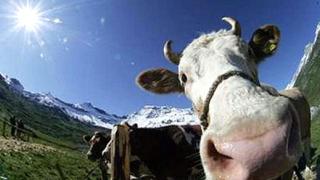 Млекопроизводители подават от днес заявления за европомощи