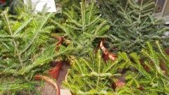 50 хил. елхички за Коледа от държавните горски предприятия