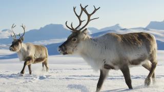 Повече от 300 диви елени убити от мълния в Норвегия
