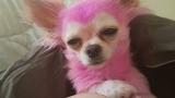 Стилист боядиса кучето си